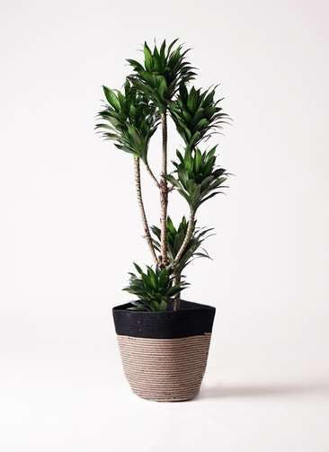 観葉植物 ドラセナ コンパクター 8号 リブバスケットNatural and Black 付き
