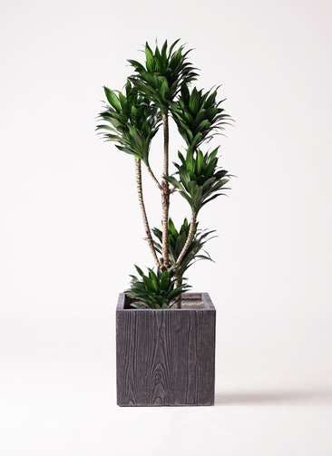 観葉植物 ドラセナ コンパクター 8号 ベータ キューブプランター ウッド 茶 付き