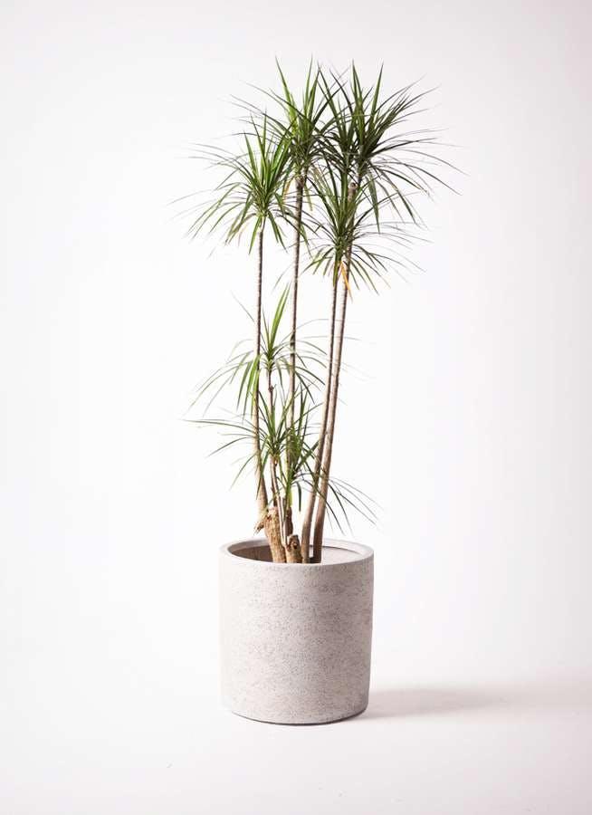 観葉植物 ドラセナ コンシンネ 10号 サンディ シリンダー 白 付き