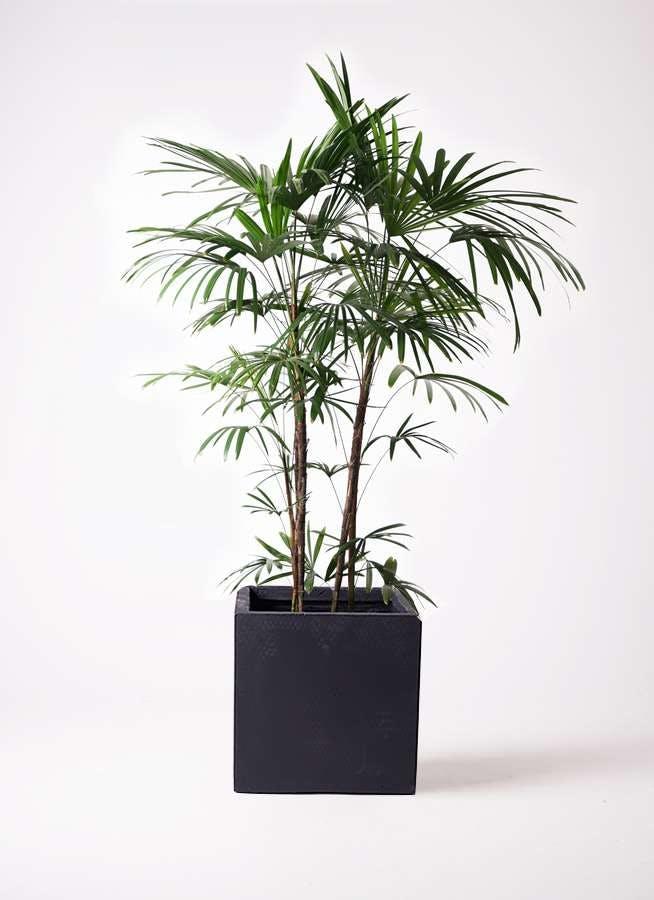 観葉植物 シュロチク(棕櫚竹) 10号 ベータ キューブプランター 黒 付き