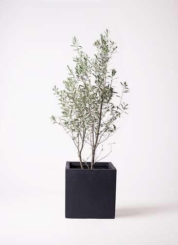 観葉植物 オリーブの木 10号 チプレッシーノ ベータ キューブプランター 黒 付き