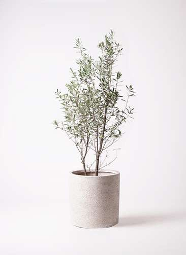 観葉植物 オリーブの木 10号 チプレッシーノ サンディ シリンダー 白 付き
