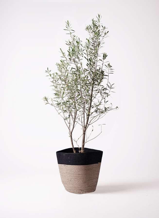観葉植物 オリーブの木 10号 チプレッシーノ リブバスケットNatural and Black 付き