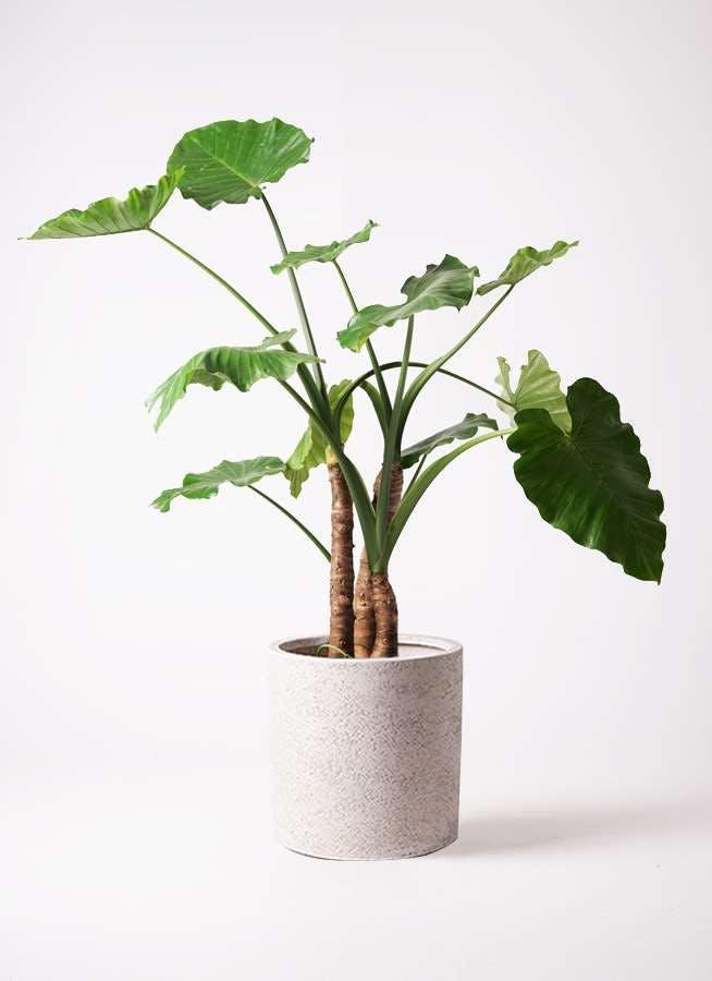 観葉植物 クワズイモ 10号 サンディ シリンダー 白 付き