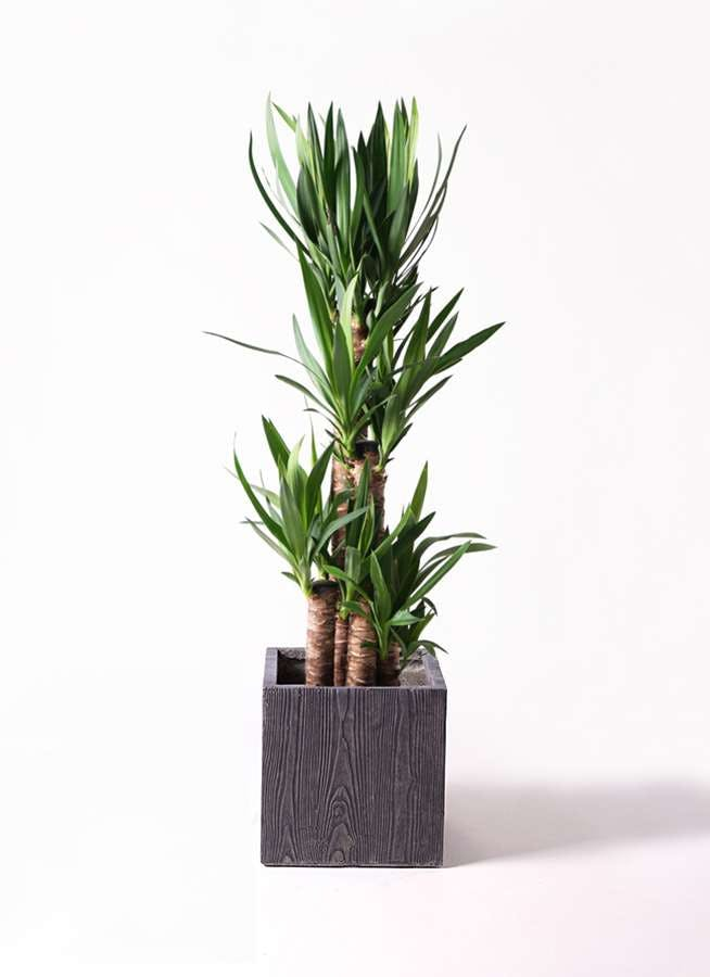 観葉植物 ユッカ 8号 ノーマル ベータ キューブプランター ウッド 茶 付き