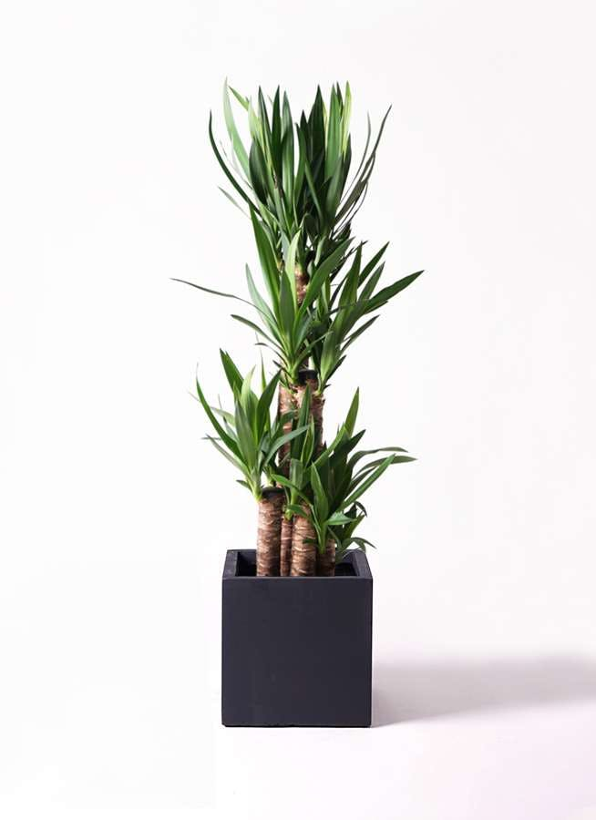 観葉植物 ユッカ 8号 ノーマル ベータ キューブプランター 黒 付き