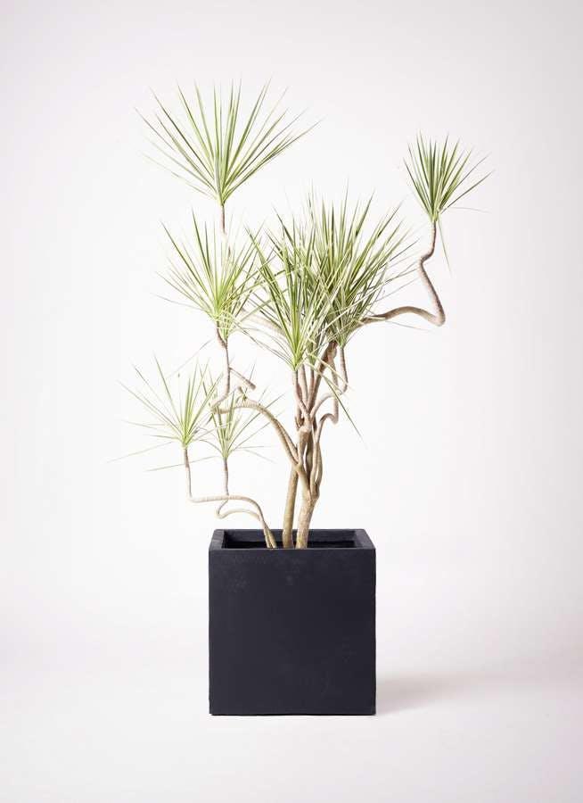 観葉植物 コンシンネ ホワイポリー 10号 曲り ベータ キューブプランター 黒 付き