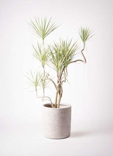 観葉植物 コンシンネ ホワイポリー 10号 曲り サンディ シリンダー 白 付き