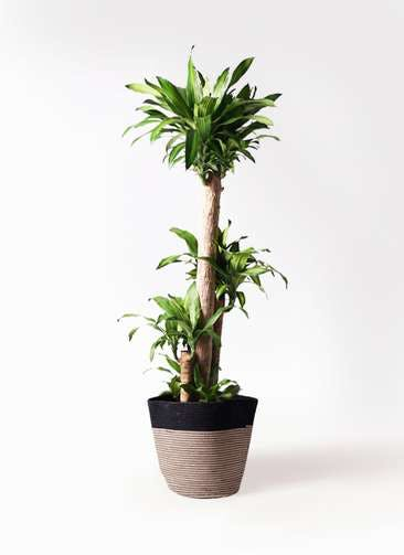 観葉植物 ドラセナ 幸福の木 10号 ノーマル リブバスケットNatural and Black 付き