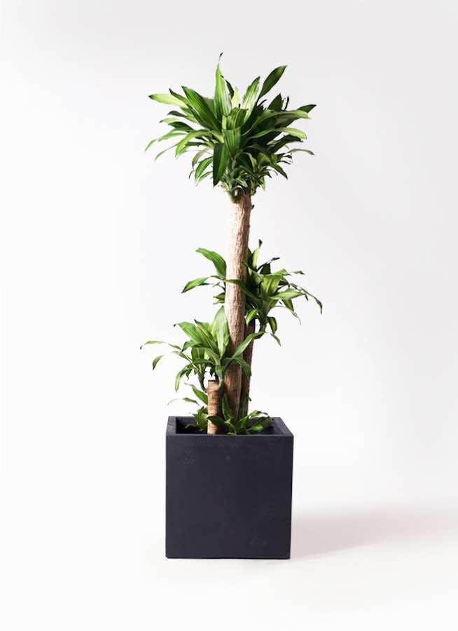 観葉植物 ドラセナ 幸福の木 10号 ノーマル ベータ キューブプランター 黒 付き