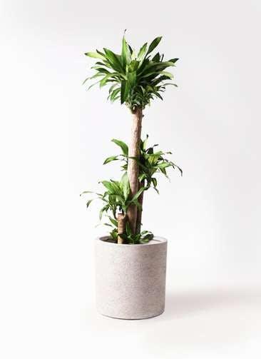 観葉植物 ドラセナ 幸福の木 10号 ノーマル サンディ シリンダー 白 付き