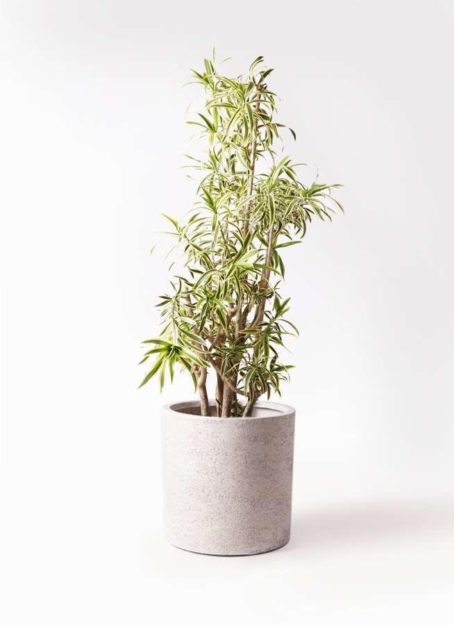 観葉植物 ドラセナ ソング オブ インディア 10号 サンディ シリンダー 白 付き
