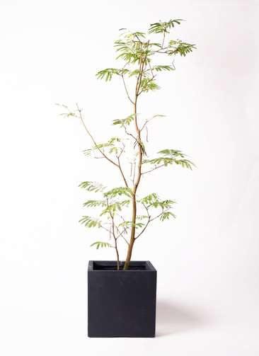 観葉植物 エバーフレッシュ 10号 ボサ造り ベータ キューブプランター 黒 付き