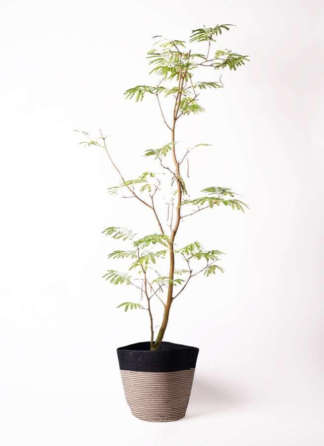 観葉植物 エバーフレッシュ 10号 ボサ造り リブバスケットNatural and Black 付き