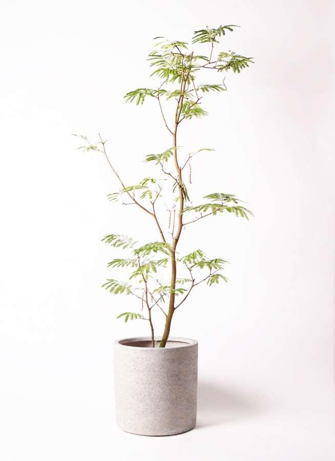 観葉植物 エバーフレッシュ 10号 ボサ造り サンディ シリンダー 白 付き