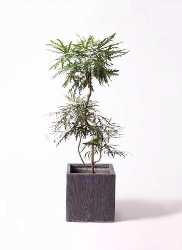 観葉植物 グリーンアラレア 8号 曲り ベータ キューブプランター ウッド 茶 付き