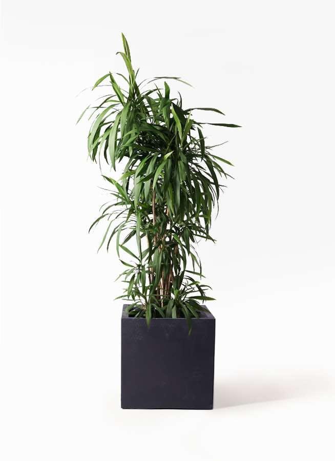 観葉植物 コルディリネ (コルジリネ) ストリクタ 10号 ベータ キューブプランター 黒 付き