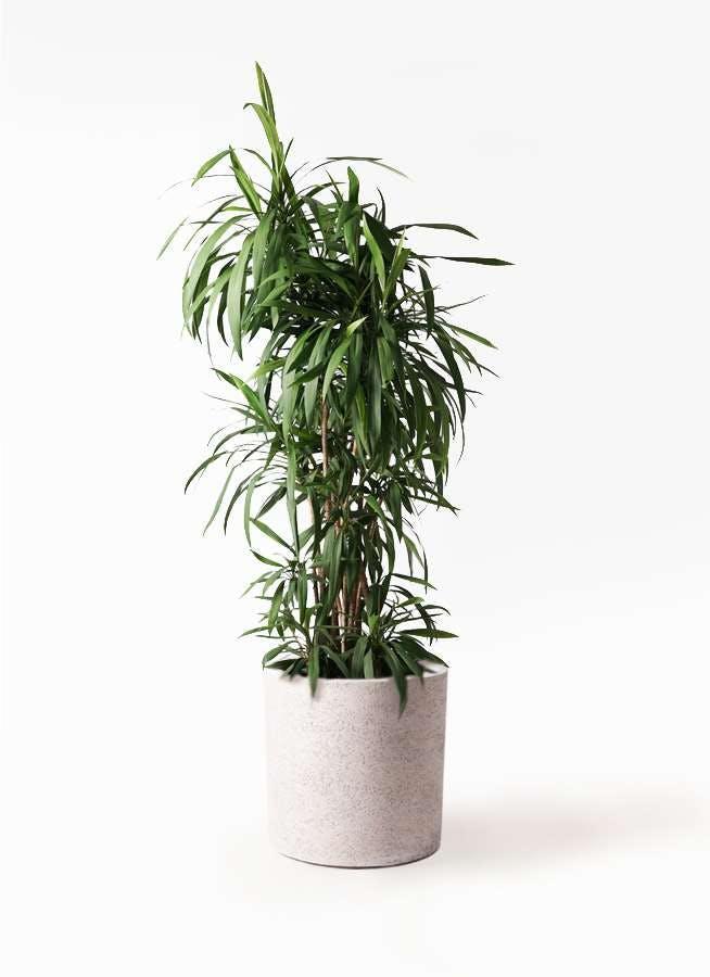 観葉植物 コルディリネ (コルジリネ) ストリクタ 10号 サンディ シリンダー 白 付き