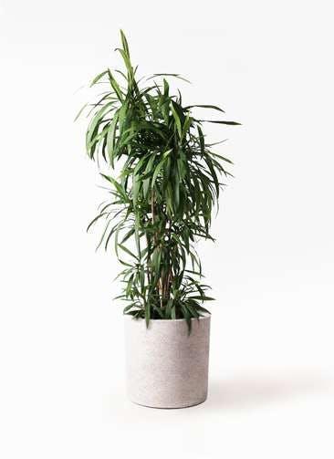 観葉植物 コルディリネ (コルジリネ) ストリクタ 10号 10号 サンディ シリンダー 白 付き