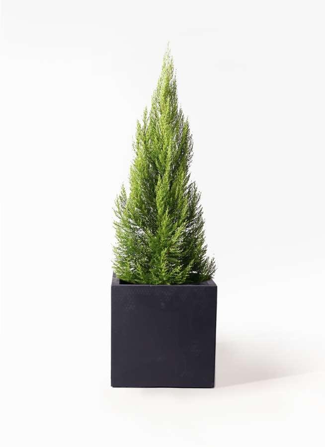 観葉植物 ゴールドクレスト 10号 ノーマル ベータ キューブプランター 黒 付き