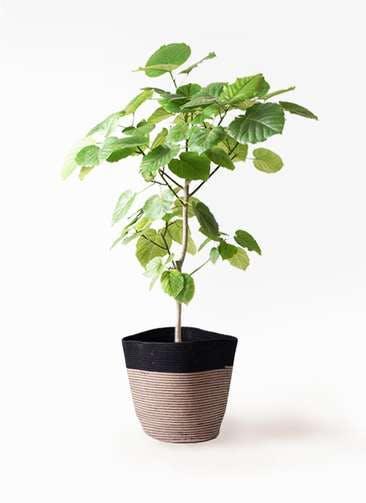 観葉植物 フィカス ウンベラータ 8号 ノーマル リブバスケットNatural and Black 付き
