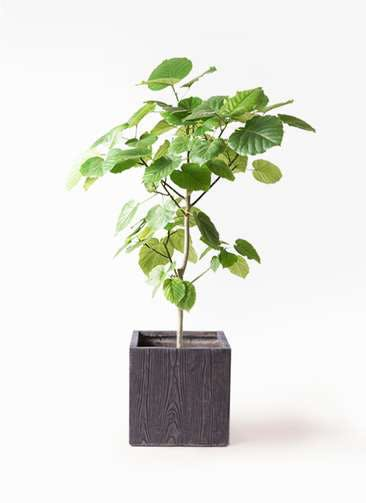 観葉植物 フィカス ウンベラータ 8号 ノーマル ベータ キューブプランター ウッド 茶 付き