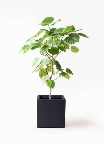 観葉植物 フィカス ウンベラータ 8号 ノーマル ベータ キューブプランター 黒 付き