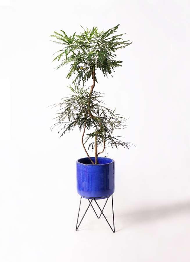 観葉植物 グリーンアラレア 8号 曲り ビトロ エンデカ ブルー アイアンポットスタンド ブラック 付き