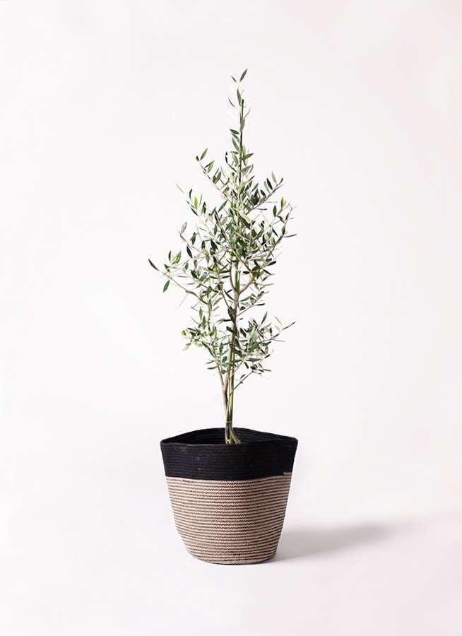 観葉植物 オリーブの木 8号 コロネイキ リブバスケットNatural and Black 付き