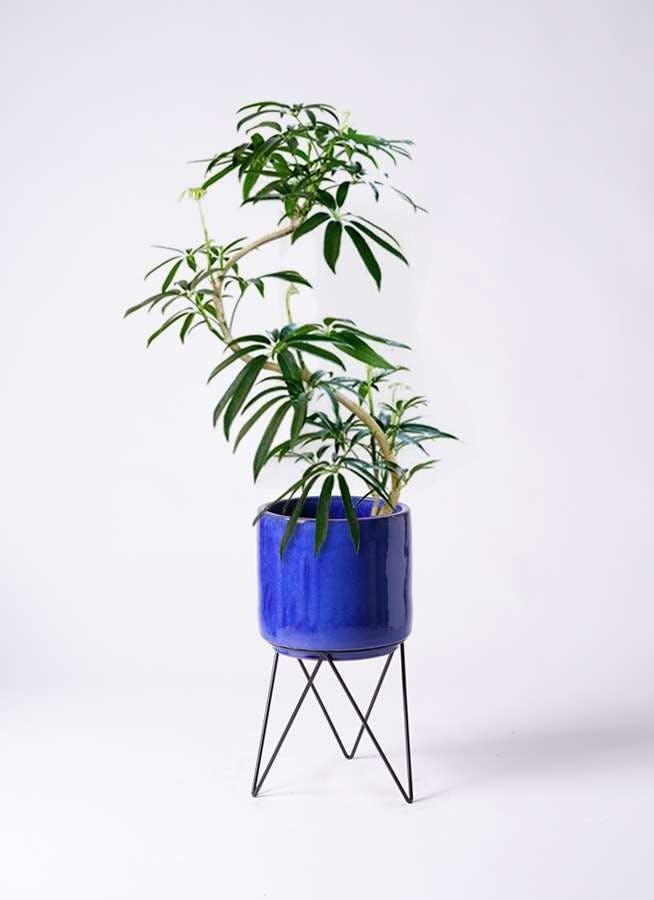 観葉植物 シェフレラ アンガスティフォリア 8号 曲り ビトロ エンデカ ブルー アイアンポットスタンド ブラック 付き