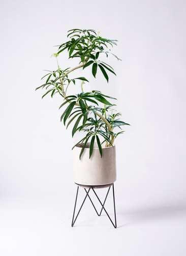 観葉植物 シェフレラ アンガスティフォリア 8号 曲り ビトロ エンデカ クリーム アイアンポットスタンド ブラック 付き