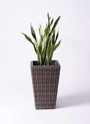 観葉植物 サンスベリア 8号 トラノオ ウィッカーポット スクエアロング OT 茶 付き