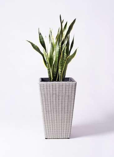 観葉植物 サンスベリア 8号 トラノオ ウィッカーポット スクエアロング OT 白 付き