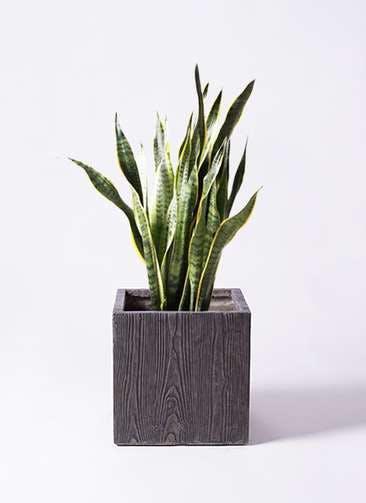 観葉植物 サンスベリア 8号 トラノオ ベータ キューブプランター ウッド 茶 付き