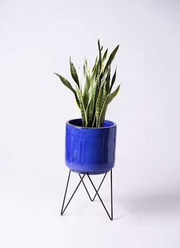 観葉植物 サンスベリア 8号 トラノオ ビトロ エンデカ 鉢カバースタンド付 ブルー 付き