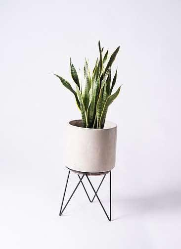 観葉植物 サンスベリア 8号 トラノオ ビトロ エンデカ クリーム アイアンポットスタンド ブラック 付き
