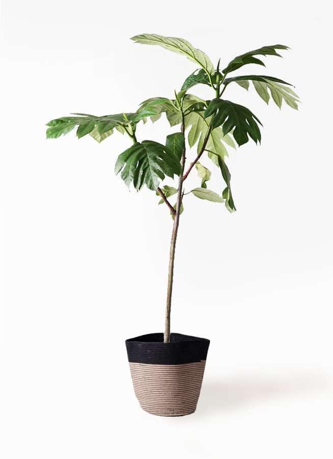 観葉植物 パンノキ 8号 リブバスケットNatural and Black 付き