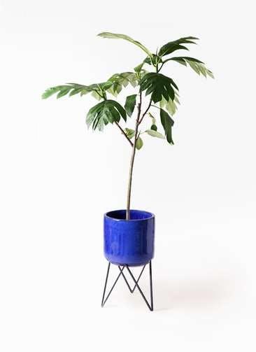 観葉植物 パンノキ 8号 ビトロ エンデカ ブルー アイアンポットスタンド ブラック 付き