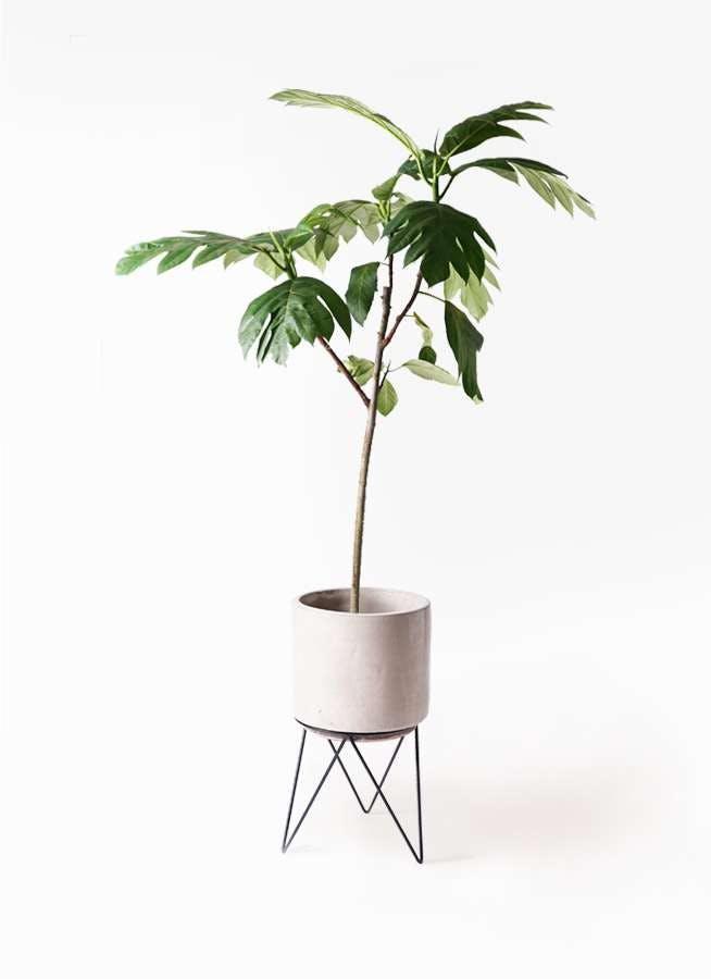 観葉植物 パンノキ 8号 ビトロ エンデカ クリーム アイアンポットスタンド ブラック 付き