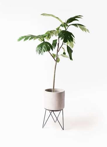 観葉植物 パンノキ 8号 ビトロ エンデカ 鉢カバースタンド付 クリーム 付き