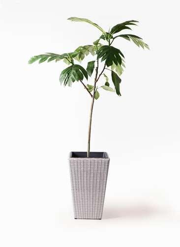 観葉植物 パンノキ 8号 ウィッカーポット スクエアロング OT 白 付き