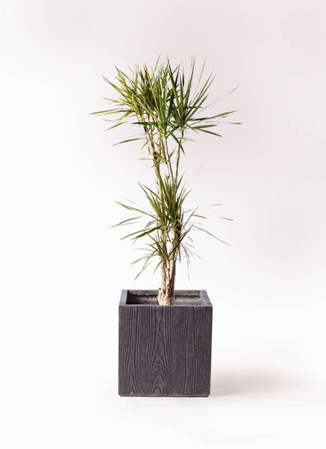 観葉植物 ドラセナ コンシンネ 8号 ベータ キューブプランター ウッド 茶 付き