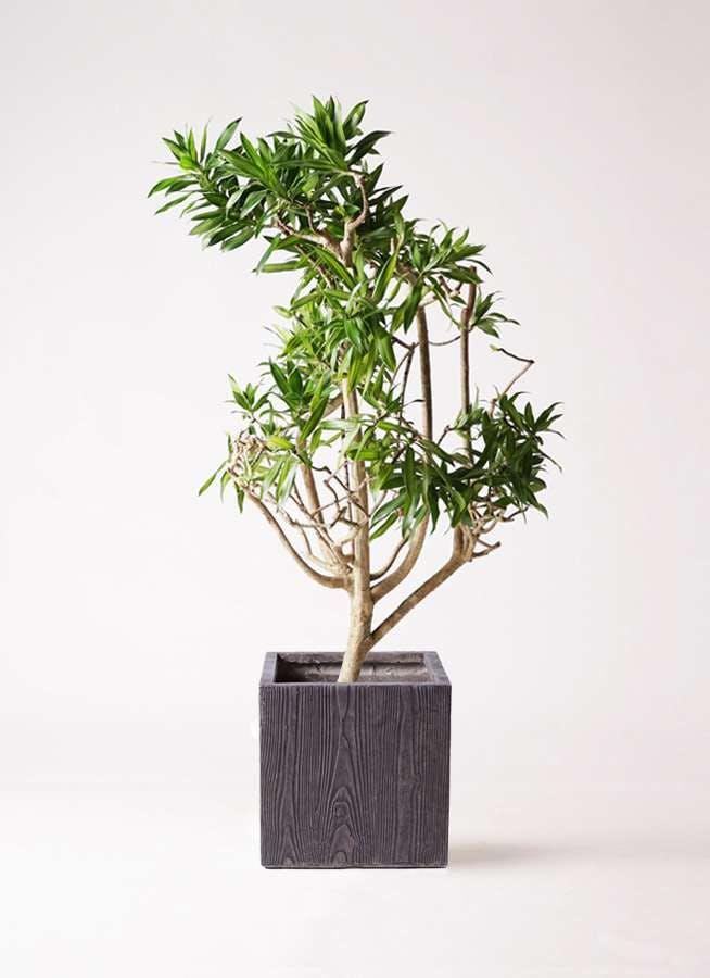 観葉植物 ドラセナ ソング オブ ジャマイカ 8号 ベータ キューブプランター ウッド 茶 付き