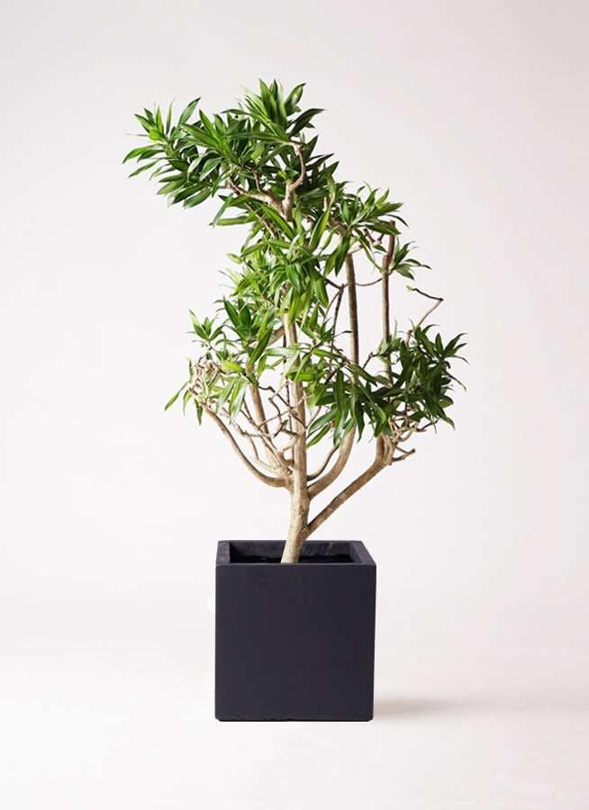 観葉植物 ドラセナ ソング オブ ジャマイカ 8号 ベータ キューブプランター 黒 付き