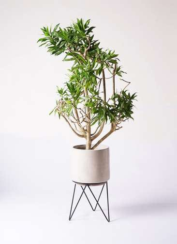 観葉植物 ドラセナ ソング オブ ジャマイカ 8号 ビトロ エンデカ クリーム アイアンポットスタンド ブラック 付き