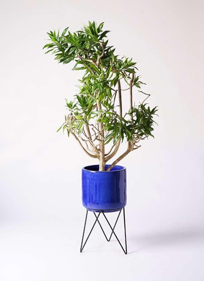 観葉植物 ドラセナ ソング オブ ジャマイカ 8号 ビトロ エンデカ ブルー アイアンポットスタンド ブラック 付き