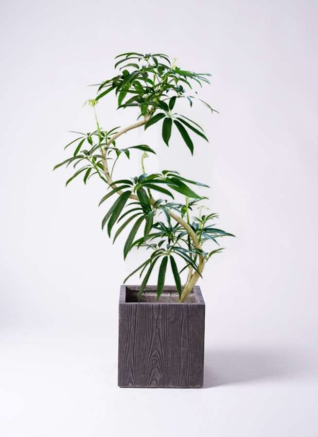 観葉植物 シェフレラ アンガスティフォリア 8号 曲り ベータ キューブプランター ウッド 茶 付き