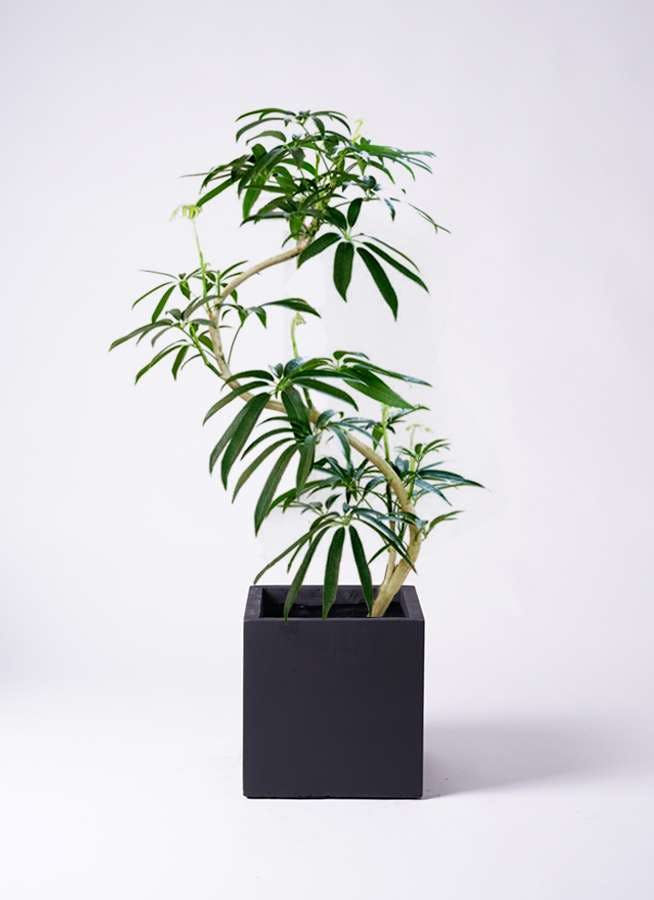 観葉植物 シェフレラ アンガスティフォリア 8号 曲り ベータ キューブプランター 黒 付き