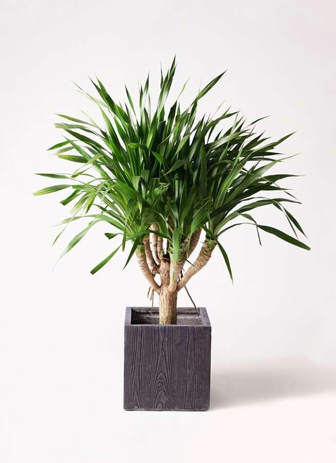 観葉植物 ドラセナ パラオ 8号 ベータ キューブプランター ウッド 茶 付き