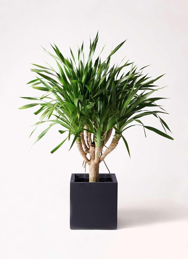 観葉植物 ドラセナ パラオ 8号 ベータ キューブプランター 黒 付き